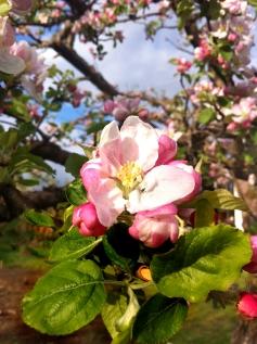 Mitt äppelträd i full blom